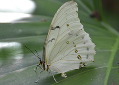 WHITE MORPHO (concep1941) Tags: butterflies insects wingsofthetropics fairchildtropicalbotanicgarden