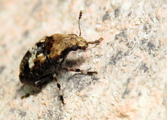 bug of the day (urtica) Tags: framinghamma framingham ma massachusetts usa night yard bugoftheday insect beetle weevil coleoptera anthribidae euparius eupariuspaganus fungusweevil