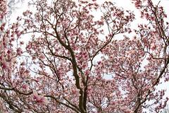 Pink Flowering Tree (adamopal) Tags: canon canon5d canon5dmkiii pinkflowering floweringtree flowering tree spring springtime spring2019 walkabout randomfind fisheye fisheyelens 15mmfisheye white grey brown tan pink mangenta red