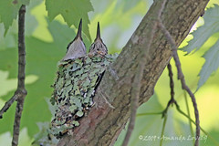 DN7A9999A (maerlyn8) Tags: hummingbird rubythroatedhummingbird bird avian animal hummer nestling nest baby siblings nature moss beautiful 2019 canadohtalake canon 400mm feathers