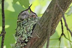 DN7A9982 (maerlyn8) Tags: hummingbird rubythroatedhummingbird bird avian animal hummer nestling nest baby siblings nature moss beautiful 2019 canadohtalake canon 400mm feathers