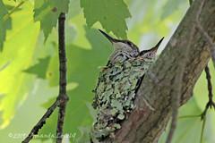 DN7A9955 (maerlyn8) Tags: hummingbird rubythroatedhummingbird bird avian animal hummer nestling nest baby siblings nature moss beautiful 2019 canadohtalake canon 400mm feathers