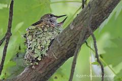 DN7A9797 (maerlyn8) Tags: hummingbird rubythroatedhummingbird bird avian animal hummer nestling nest baby siblings nature moss beautiful 2019 canadohtalake canon 400mm feathers