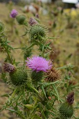 Thistle in Holland (chris10aaa) Tags: vuurtoreneiland amsterdam cultuur stelling lighthouse ij