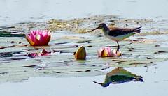 Happy Birthday, Judes! (peggyhr) Tags: peggyhr dedication pink waterlilies lake reflections buds dsc05658a bluebirdestates alberta canada rainbowofnaturelevel1red thegalaxystars1 super~sixbronze☆stage1☆ photozonelevel1 thelooklevel1red dslrautofocuslevel1 thelooklevel2yellow thelooklevel3orange dslrautofocuslevel2 carolinasfarmfriends galleryone super~six☆stage2☆silver photozonelevel2 50faves thelooklevel4purple thelooklevel5green super~six☆stage3☆gold