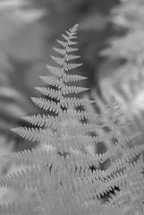 Shady Lane (Isodopoulos) Tags: july summer fern ma mass massachusetts sudbury ir infrared nikon dslr d80 manual focus jena pancolar 50 18 black white bw bnw