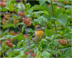Baltimore Oriole (Summerside90) Tags: birds birdwatcher baltimoreoriole august summer backyard garden nature wildlife ontario canada