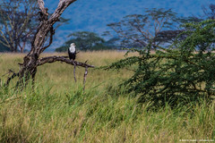 2019.06.08.3842 Fish Eagle (Brunswick Forge) Tags: 2019 grouped tanzania africa serengeti serengetinationalpark bird birds outdoor outdoors animal animals animalportraits wildlife nature nikkor200500mm summer winter nikond500 inmotion day cloudy clear sky air