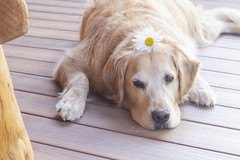 My Sweet Boy (Karon Elliott Edleson) Tags: dog golden atticus goldenretriever pet