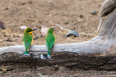 2019.06.08.3706 Little Bee-Eaters (Brunswick Forge) Tags: africa winter summer sky bird nature birds animal animals tanzania outdoors day cloudy outdoor wildlife air clear serengeti inmotion grouped 2019 animalportraits serengetinationalpark nikond500 nikkor200500mm