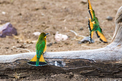 2019.06.08.3703 Little Bee-Eaters (Brunswick Forge) Tags: 2019 grouped tanzania africa serengeti serengetinationalpark bird birds outdoor outdoors animal animals animalportraits wildlife nature nikkor200500mm summer winter nikond500 inmotion day cloudy clear sky air