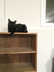20160820 - Angus on bookcase, Shelf Kitty (Snow Dragonwyck) Tags: sootsprite angus black cat sit lounge bookcase bookshelf shelf kitty