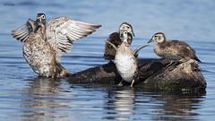 Wood Duck family (featherweight2009) Tags: woodduck aixsponsa ducks perchingducks waterfowl birds