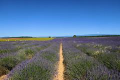 P1140743 (alainazer2) Tags: valensole provence france fiori fleurs flowers fields champs ciel cielo sky colori colors couleurs coquelicot tournesol girasole lavande lavanda lavender