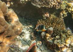 Underwater world of Surin and Similan islands, Thailand   IMG_5340bs (Phuketian.S) Tags: andamansea indian ocean underwater world surin similan island border thailand myanmar photo coral reef fish fishing рыбалка подводный подводное фото рыба риф кораловый море андаманское сурин симиланы phuketian water sea deep barracuda school