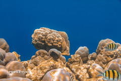 Underwater world of Surin and Similan islands, Thailand    IMG_5353bs (Phuketian.S) Tags: andamansea indian ocean underwater world surin similan island border thailand myanmar photo coral reef fish fishing рыбалка подводный подводное фото рыба риф кораловый море андаманское сурин симиланы phuketian water sea deep barracuda school