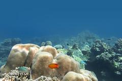 Underwater world of Surin and Similan islands, Thailand   IMG_5367bs-MW (Phuketian.S) Tags: andamansea indian ocean underwater world surin similan island border thailand myanmar photo coral reef fish fishing рыбалка подводный подводное фото рыба риф кораловый море андаманское сурин симиланы phuketian water sea deep barracuda school
