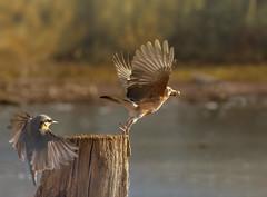to late (hardy-gjK) Tags: jay nuthatch kleiber eichelhäher vögel birds oiseaux natur nature wildlife animals flug flight feather federn nuss nut hardy nikon water tree