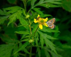 Lycaeides subsolana (shinichiro*) Tags: 松本市 長野県 日本 20190706dsc8486 2019 crazyshin nikonz6 z6 nikkorz2470mmf4s july summer kamikochi nagano japan jp butterfly macro アサマシジミ 48477904472 5722074 201908gettyuploadesp