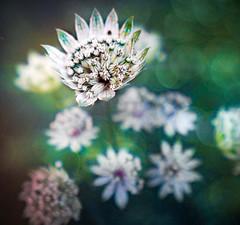 Astrantia Major (judy dean) Tags: judydean 2019 astrantia flowers garden