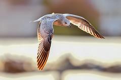 20190806_Sunset at Cedar River-003 (Colin CTW) Tags: sunset seagull gull birds sky fly wildlife gulls seagulls ducks water seabirds terns eagle balleagle osprey waterfowl fowl goose geese