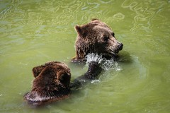 Ours brun (Vostok 911) Tags: vostok911 zooparcdebeauval ours brun eau