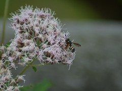 2 Band Wespen-Schwebfliege (bratispixl) Tags: bratispixl macro insekt fliege