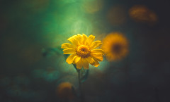 wildflower (Dhina A) Tags: sony a7rii ilce7rm2 a7r2 a7r diaplan 100mm f28 bokeh bubble circle projector projection lens trioplan triplet manualfocus wildflower flower summer
