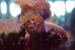 (mihxiii 2.0) Tags: aquarium australia fremantle clown fish clownfish hiding nap time