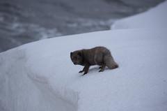 Arctic Fox (richard.mcmanus.) Tags: arctic arcticfox hornstrandir iceland fox mcmanus animal mammal snow gettyimages