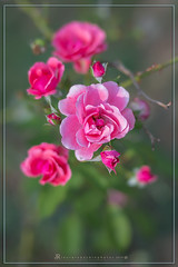 Rose (iLaura_) Tags: rose rosa fiori flowers natura 50mm