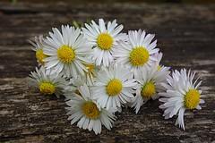 daisies (majka44) Tags: macro flower daisies light lifestyle stilllife 2019 yellow sony sonydsc