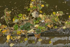 Metastable (Tony Tooth) Tags: nikon d7100 sigma 70mm foliage vegetation detritus metastable canal caldoncanal froghall staffs staffordshire
