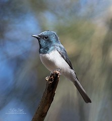 Leaden Flycatcher,male7044 (ozwildbird) Tags: bird flycatcher leadenflycatcher maleleadenflycatcher