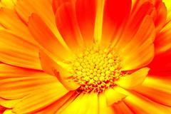 Cœur orangé sur les hauteurs de Rotorua (Christian Chene Tahiti) Tags: canon 6d rotorua skyline jaune orange cœur plante vert extérieur marguerite daisy flower nouvellezélande newzealand macro bokeh closeup nature