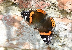 Admiral on the Wall (Eleanor (New account))) Tags: butterfly redadmiralbutterfly brickwall canonspark stanmore uk nikond7200 august2019