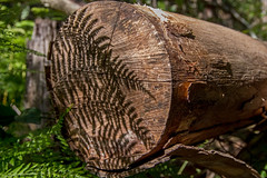 Cut & shadowed (OzzRod) Tags: pentax k1 smcpentaxda1650mmf28 tree stump cut fallen bracken fern shadows yuelarbahtrack glenrock newcastle dailyinaugust2019 pentaxart