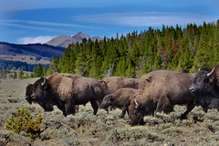 Bisons, Yellowstone National Park, Wy (klauslang99) Tags: klauslang bisons yellowstone national park animals landscape wyoming