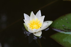 (Alessio Arnese) Tags: nymphaea flower fiore giardino garden water acqua stagno