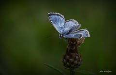 Chalkhill Blue (male) - Bedfordshire (Alan Woodgate) Tags: