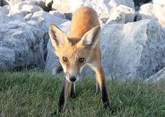 Pouncer (marylee.agnew) Tags: red fox vulpes nature kit young beauty eyes looking encounter summer grass outdoor animal