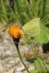 Gonepteryx rhamni - Brimstone - Citroenvlinder (Tannheim, Austria) (Christian van de Ven) Tags: vlinder butterfly schmetterling mariposa papillon