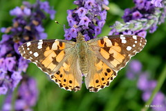 Painted Lady butterfly enjoying the lavender fest in Prestwick. (BS Images.) Tags: butterfly ayrshire southayrshire wildlife prestwick