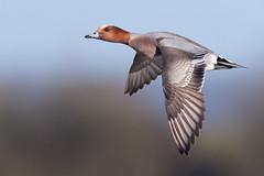 Wigeon (Glenn.B) Tags: gloucestershire slimbridge wwt wildlife wildfowl wildfowlandwetlandstrust waterfowl duck animal flight sky wigeon