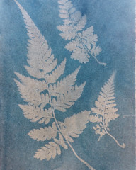 0145 (nori 4) Tags: cyanotype sunprint ferns