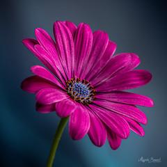 Purple flowers (Magda Banach) Tags: nikond850 blue colors flora flower green macro nature plants purple