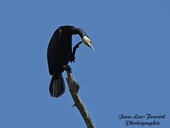 Grand Cormoran (Phalacrocorax carbo - Great Cormorant  ) ça me gattre (jean-lucfoucret) Tags: nikon d500 nikond500 nikkor 200500f56 nikkor200500f56 oiseau bird noir aves grand cormoran grandcormoran great cormorant phalacrocorax carbo bokeh bleu ciel cormorán grande corvomarinho kormoran suliformes aquatique