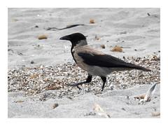 Corvus cornix (M.L Photographie) Tags: nature animal bird oiseau ornithologie ornithology wild wildlife wildlifephotography france corse corsica corvus corneille crow nikon coolpix p900