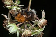 Raspberry Lover, Pt. 2 - _TNY_5038 (In Explore 7/8 2019) (Calle Söderberg) Tags: macro canon canon5dmkii canoneos5dmarkii canon5dmarkii 5d2 canonef100mmf28usmmacro raynox dcr250 flash meike mk300 glassdiffusor blackbackground raspberry hair hairy fuzz fuzzy fur furry insect bumblebee bombus hypnorum treebumblebee newgardenbumblebee hallon flower humla hushumla pyrobombus apoidea apidae långtungebi ginger orange tornberget f19 explored inexplore