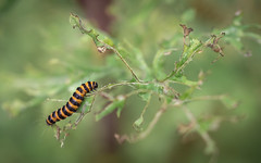 the very hungry caterpillar :) (Emma Varley) Tags: moth caterpillar cinnabarmoth ragwort summer nature wildlife westsussex leaves hungry eating plant food yellow black stripes stripy